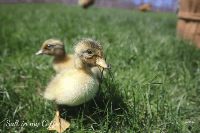ducklings playing outside for the first time