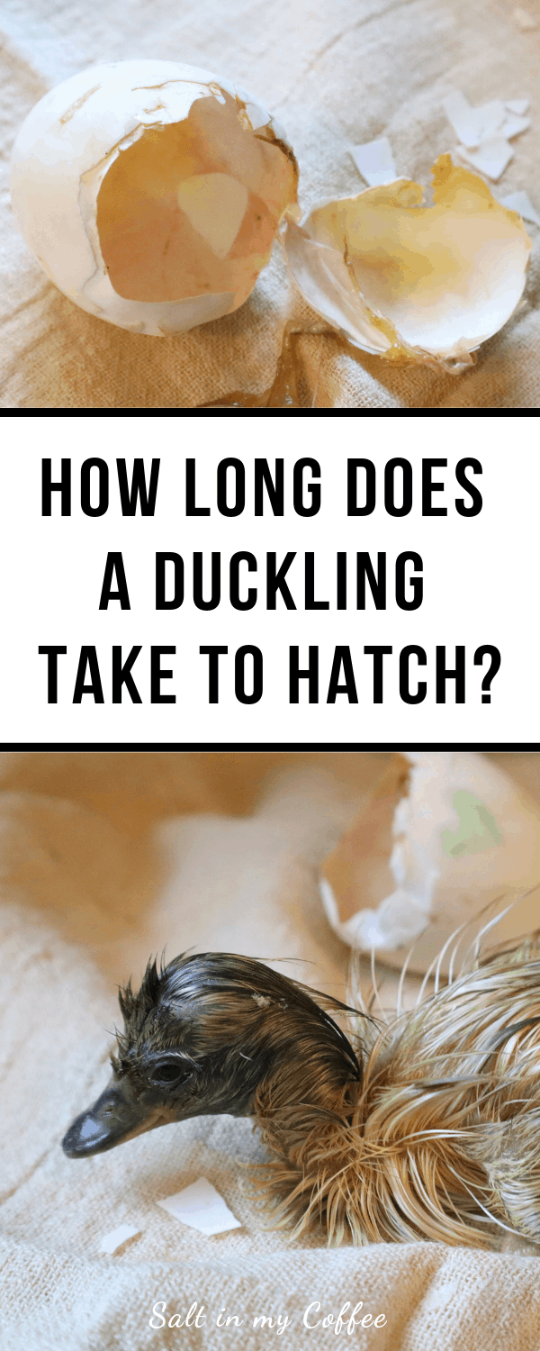 Ducklings take can take many hours to hatch - here's what to expect on hatch day