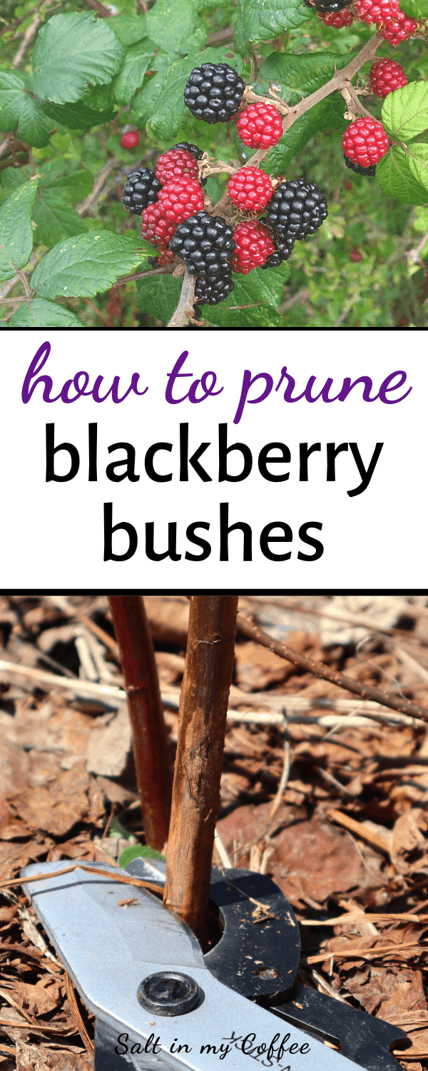 pruning blackberry bushes