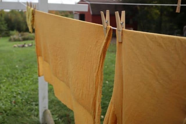 dyeing with Devil's Beggartick