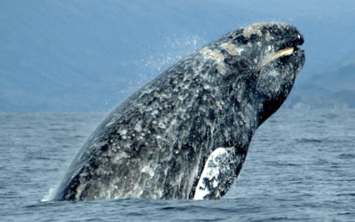 Gentle Gray Giants of the Puget Sound