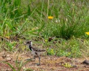 rodrigo-aves-5-300x240 As aves em suas cores e tamanhos diversos iluminando a natureza em Salto do Jacuí. Vamos preservar nossas riquezas. Fotos: Rodrigo Rodrigues