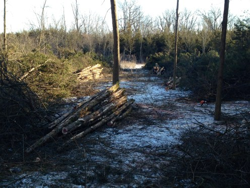 Clearing cedar for fence stakes, building posts and future pasture.
