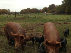Sows, horses, cattle. See them all?