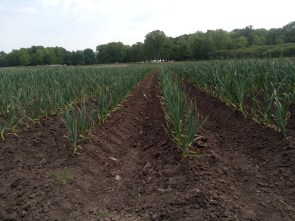Nicest garlic crop we've ever seen