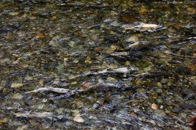 salmon-run-goldsteam6_MG_2651