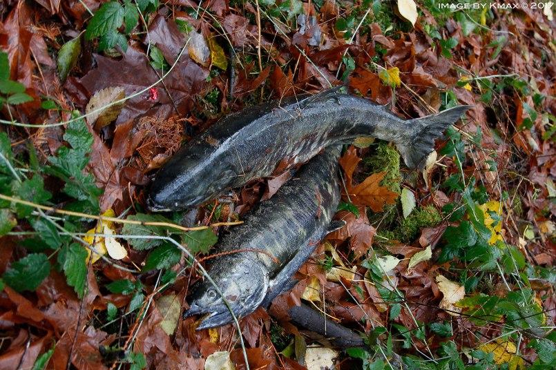 salmon-run-goldstream2_MG_2678