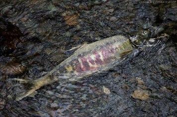 salmon-run-goldstream3_MG_2675
