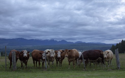 cows-denman-x_MG_0979