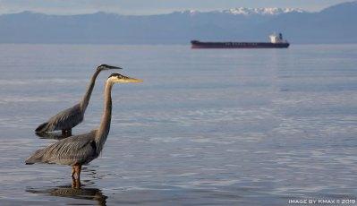 Esquimalt-Herons-panorama