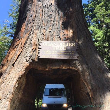 Sprinter Van trying to drive through chandelier drive they tree
