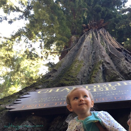 Baby at drive thru Coastal redwood tree