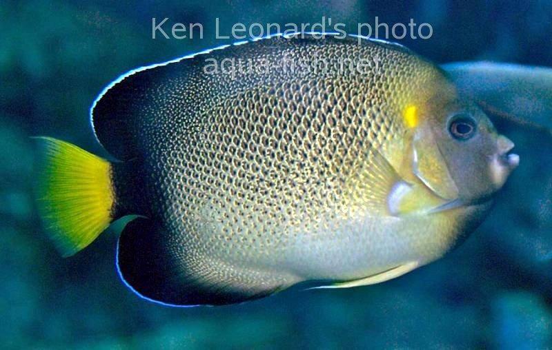 Yellowtail Angelfish