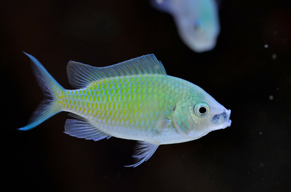 green chromis is one of the most popular saltwater fish