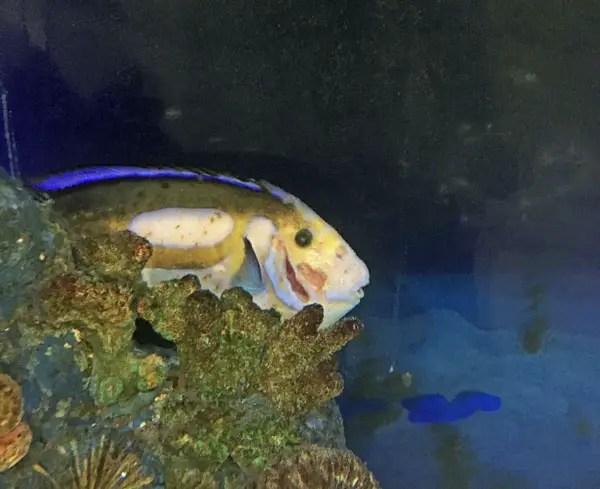 sick blue hippo tang