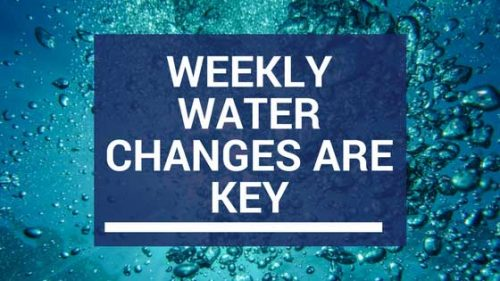weekly water changes are key to a successful aquarium