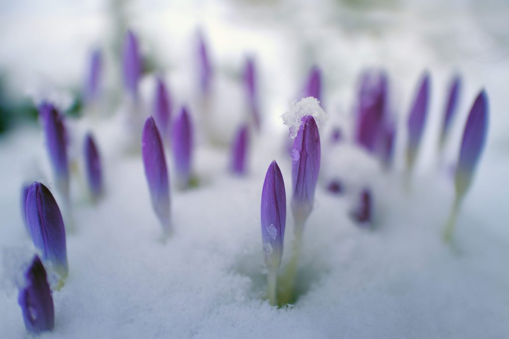 crocus in snow symbolizing resilience