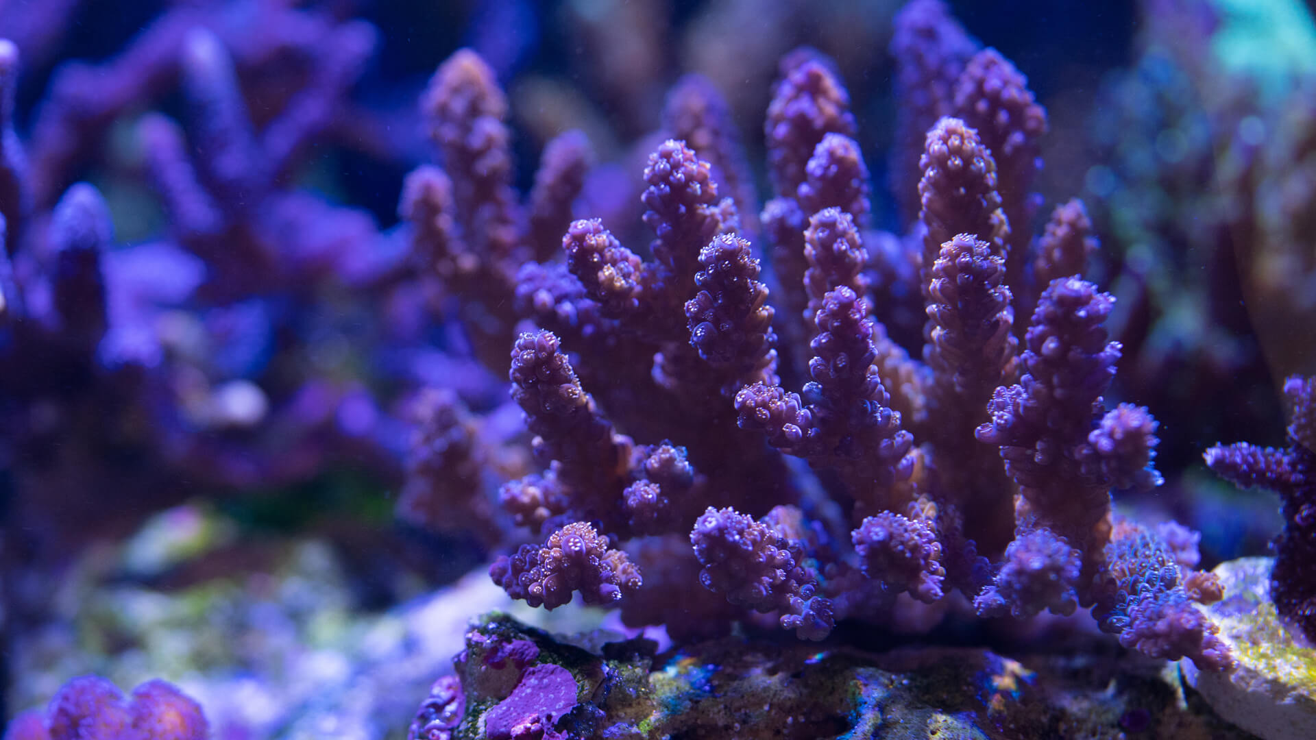 Coral Frags, Anemones, Saltwater Fish and Livestock, Aquarium Supply Store - Aquatic Treasures of Las Vegas, Nevada