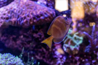 Blue Caribbean Tang also known as the Atlantic Blue Tang or Even the Blue Tang Surgeonfish