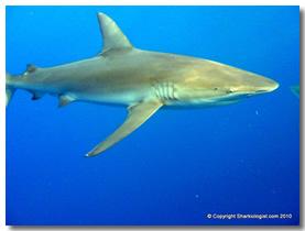 Shark Encounters section hawaii