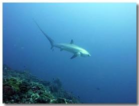 Shark Habitat section thresher over reef