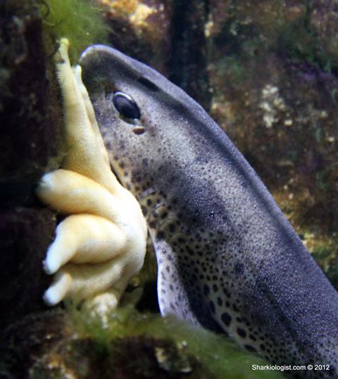 Small Spotted Catshark (Scyliorhinus canicula) Taken at Macduff Marine Aquarium.