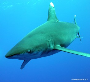 A classic Oceanic Whitetip's bold approach off Cat Island Bahamas