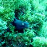 Black Moray Eel, Pico Island, Azores