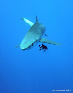 Blue Shark (Prionace glauca), complete with Pilot Fish Wingman (Finman!), Azores Bank