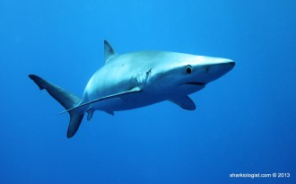Fantastic encounter with a female Blue Shark (Prionace glauca), Azores Bank