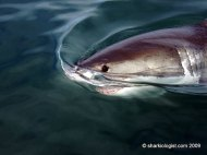 White Shark (Carcharodon carcharias) taking a look, off Hermanus, 1 hour East of Cape Town. (Photo credit: Daniel Dawes)
