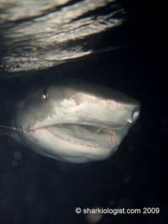 Tiger Shark (Galeocerdo cuvier) by night. Photo credit: Charlotte Cook)