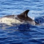 Common Dolphin, Faial Island, Azores