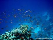 An abundance of life around a coral head. Sharks Bay, Egypt.
