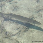 Barracuda (Sphyraena barracuda) lurking in the shallows, Bimini, Bahamas.