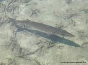 Barracuda (Sphyraena barracuda) lurking in the shallows, Bimini, Bahamas.