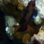 Mandarinfish, Palau