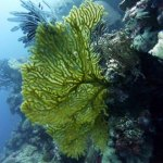 Huge Sea Fan, Palau