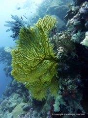 Huge Sea Fan, Palau