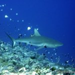 Grey reef Shark (Carcharhinus amblyrhynchos) over the reef, Palau