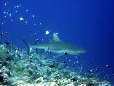 Grey reef Shark (Carcharhinus amblyrhynchos) over the reef, Palau