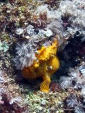 Frogfish, Gato Island, Philippines