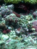 Stonefish, Monad Shoal Philippines