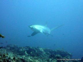 Getting eye-balled by a Pelagic thresher shark (Alopias pelagicus) Monad Shoal, Phiippines