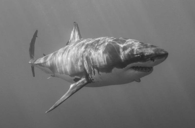 The 3.2 million year history of Great White Sharks in the Mediterranean Sea