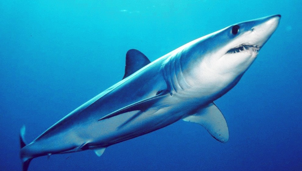 ICCAT 2019 Mako Shark Protection thwarted by EU & US