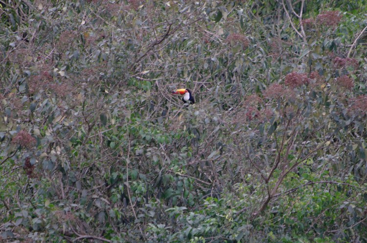Toucan at Iguazu Falls