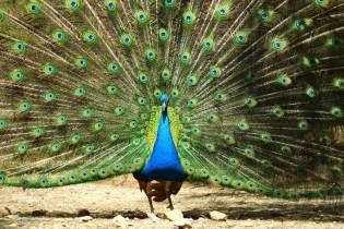 Peahens class action lawsuit against peacock's sexual advances