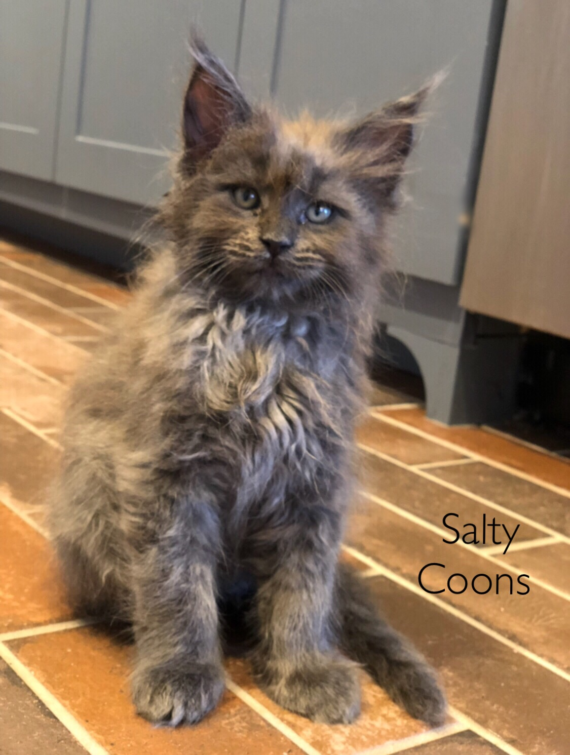 Maine Coon Kittens For Sale Tn : maine, kittens, Maine, Kittens, Petfinder
