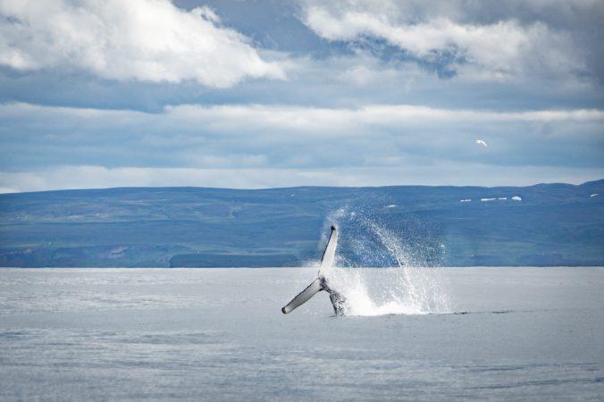 Whale Watching Husavik Buckelwal